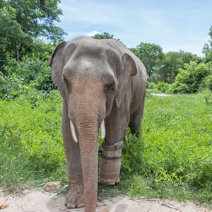 sponsor an animal Sponsor an Animal asia elephant1