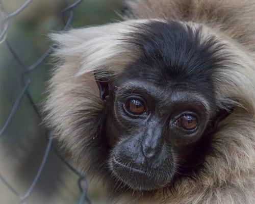 sponsor a pileated gibbon Sponsor a Pileated Gibbon gibbon2