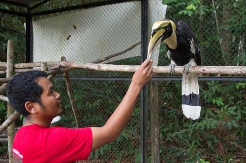 Sponsor a Great Hornbill hornbil2