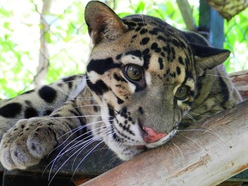Sponsor a Clouded Leopard leopard1