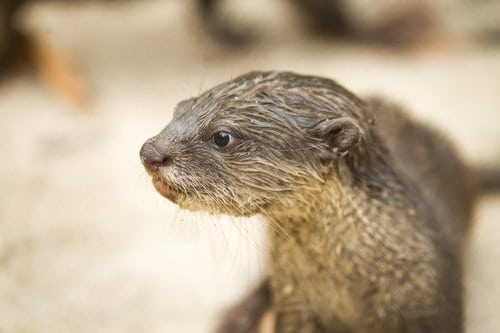 Sponsor a Smooth-Coated Otter Family otter2