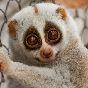 sponsor an animal Sponsor an Animal slow loris1