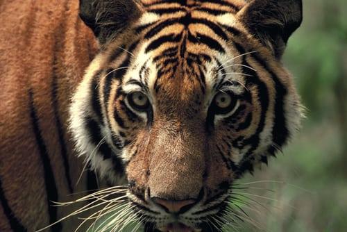 sponsor a tiger Sponsor a Tiger tiger3