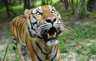 Tiger close up – Camera trap @ Phnom Tamao Wildlife Rescue Center tiger5 320x202