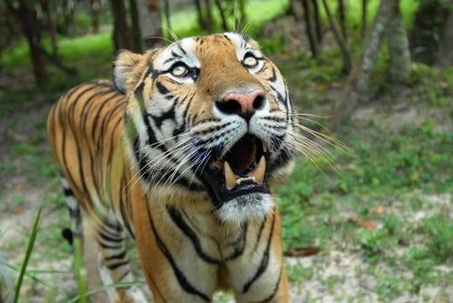 sponsor a tiger Sponsor a Tiger tiger5