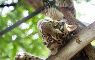 #GivingTuesday is Less Than Two Weeks Away #GivingTuesday is Less Than Two Weeks Away 2015 08 30 WA clouded leopard2 320x202