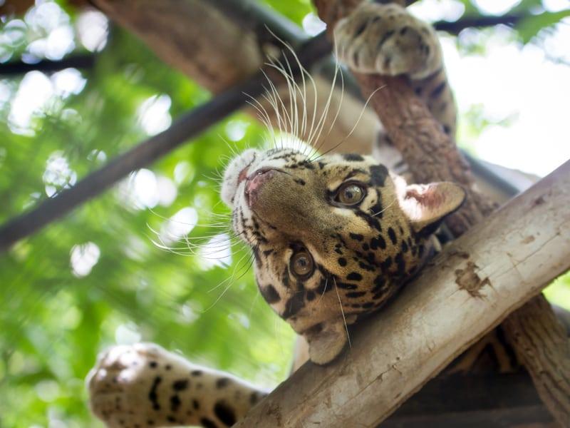 Meet PoPork the clouded leopard Meet PoPork the clouded leopard 2015 08 30 WA clouded leopard2