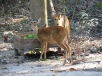 Wildlife Release Report: Smooth Transitions and Promising Futures Asian deer 200x150