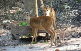 Wildlife Release Report: Smooth Transitions and Promising Futures Asian deer 320x202  Wildlife Care Asian deer 320x202