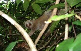 Wildlife Care PTWRC Slow Loris 320x202