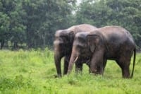 Elephants enjoying the cool weather and mud Chhouk and Lucky playing together in the rain 2 200x133