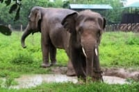 Elephants enjoying the cool weather and mud Chhouk and Lucky playing together in the rain 200x133