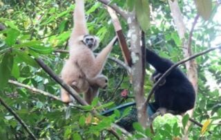 Angkor Wat Gibbon Family update Angkor Wat Gibbon Family update Gibbon Family 320x202