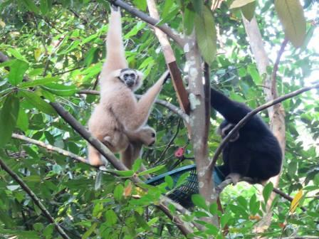 angkor wat gibbon family update Angkor Wat Gibbon Family update Gibbon Family