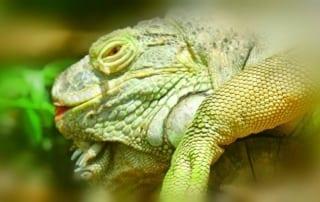 Iguanas are very curious creatures Iguana 320x202