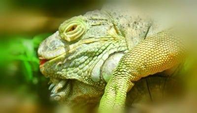 Iguanas are very curious creatures Iguana 400x230  Home Iguana 400x230