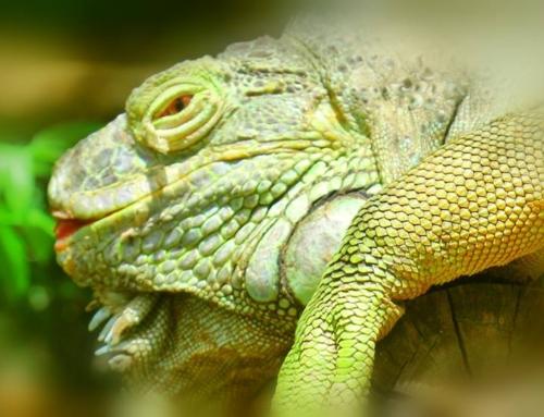 Iguanas are very curious creatures