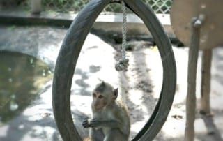 Baby Long Tail Macaque enjoying his tire swing on a hot day Long Tail Macaque 320x202