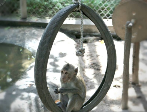 Baby Long Tail Macaque enjoying his tire swing on a hot day