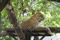 Have you met our male leopard Songha? Songha Cambodia Leopard 200x133