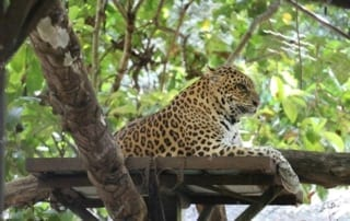 Have you met our male leopard Songha? Songha Cambodia Leopard 320x202  Newsletter Songha Cambodia Leopard 320x202