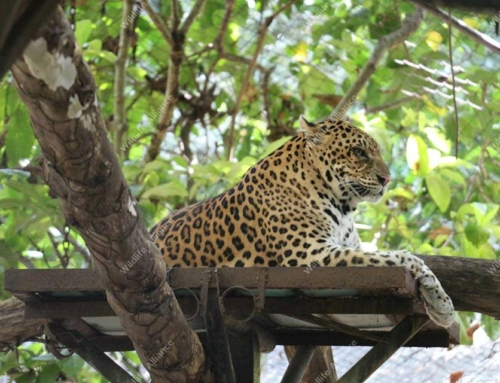 Have you met our male leopard Songha?