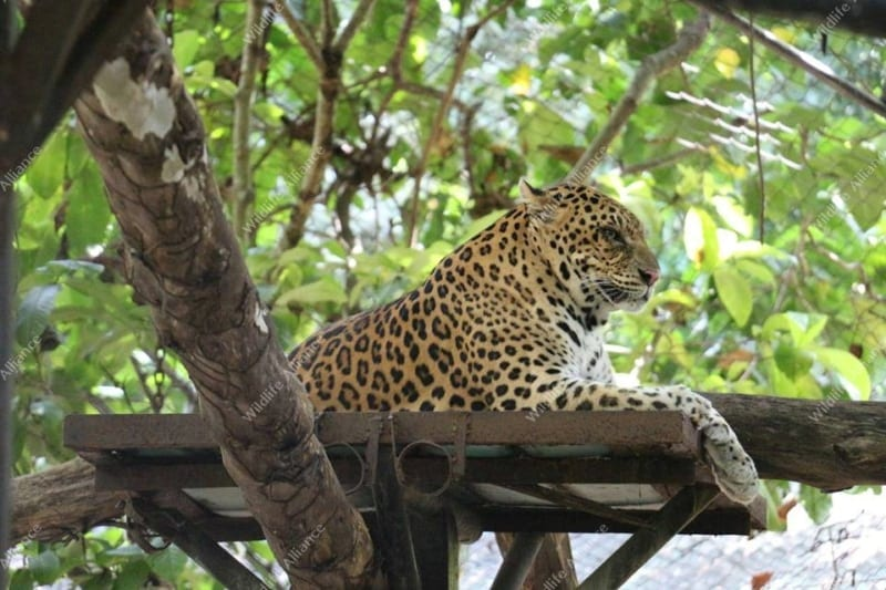 Have you met our male leopard Songha? Songha Cambodia Leopard 800x533