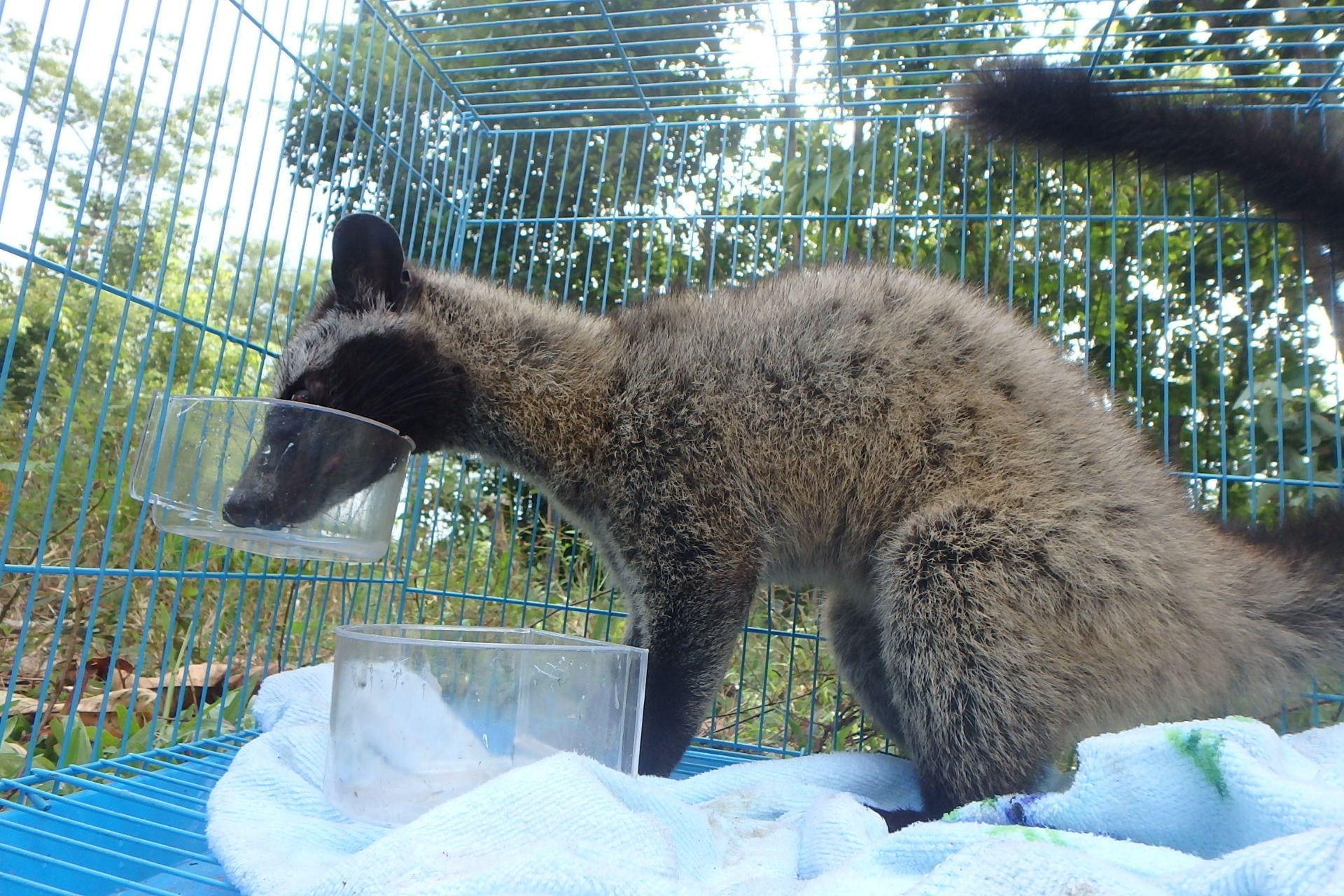 CAP squad arrest. Civet rescued by Wildlife Alliance Rangers The animal was transferred immediately and it was given food and water
