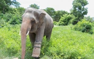 The elephant with a prosthetic foot elephant missing leg 320x202