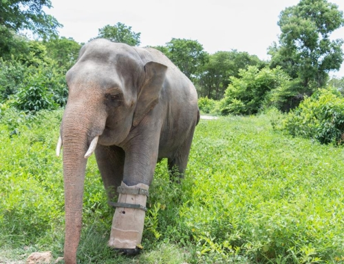 The elephant with a prosthetic foot