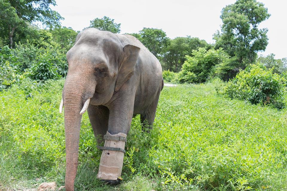 the elephant with a prosthetic foot The elephant with a prosthetic foot elephant missing leg
