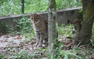 meet our elusive fishing cat Meet our elusive fishing cat fishing cat 320x202