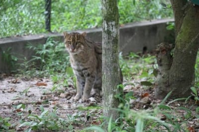 Meet our elusive fishing cat fishing cat 400x267  Home fishing cat 400x267