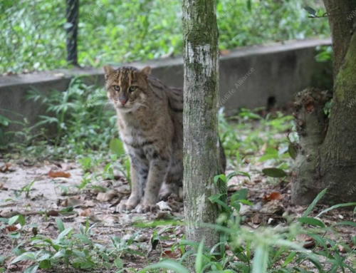Meet our elusive fishing cat