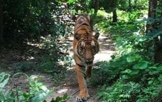 Areang, the hybrid tiger Areang, the hybrid tiger hybrid tiger 320x202