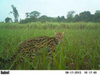 Wildlife Release Station camera trap leopard cat 200x150