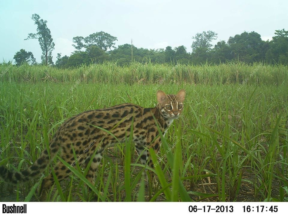 Wildlife Release Station camera trap Wildlife Release Station camera trap leopard cat