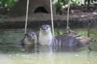 Smooth-coated otter family Smooth-coated otter family otter family Cambodia 200x133