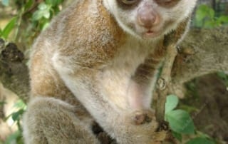 meet the slow loris Meet the slow loris slow loris Phnom Tamao Center Cambodia 320x202