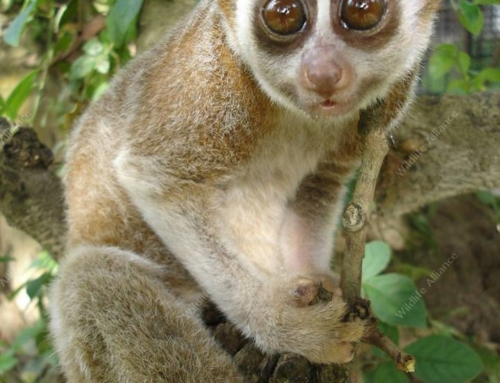 Meet the slow loris