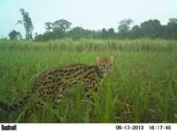 VOTE - Sustainable livelihoods and tourism VOTE – Sustainable livelihoods and tourism Camera trap leopard cat 200x150