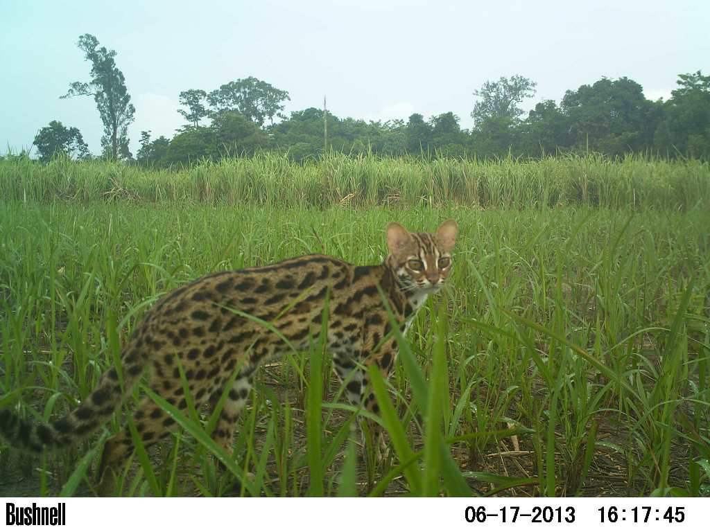VOTE - Sustainable livelihoods and tourism VOTE – Sustainable livelihoods and tourism Camera trap leopard cat