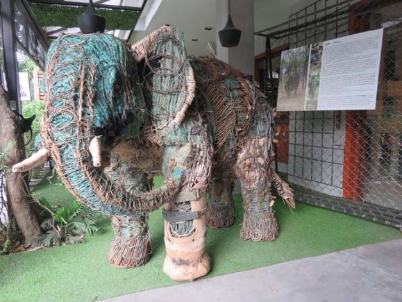 the elephant with a prosthetic foot The elephant with a prosthetic foot Chhouk     the story continues