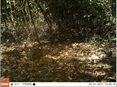 southern cardamom redd+ Southern Cardamom REDD+ Mouse Deer 400x298