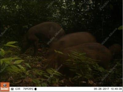 southern cardamom redd+ Southern Cardamom REDD+ Wild Boar 400x301