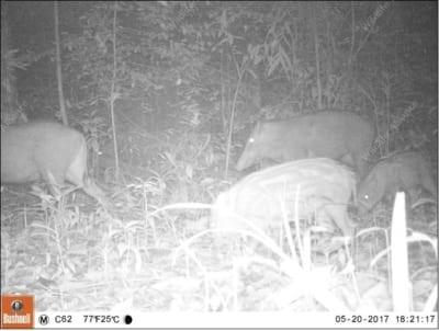 southern cardamom redd+ Southern Cardamom REDD+ Wild Boar Cambodia 400x302