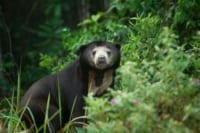 VOTE - Sustainable livelihoods and tourism VOTE – Sustainable livelihoods and tourism sun bear Cambodia 200x133