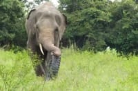 silly chhouk is having fun with his tire toy Silly Chhouk is having fun with his tire toy Asian Elephant 200x133