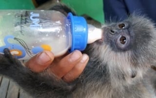Phnom Tamao Wildlife Rescue Centre – trying times…. Baby silvered langur 320x202