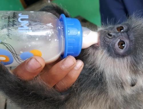 Phnom Tamao Wildlife Rescue Centre – trying times….